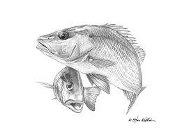 gray snapper pencil art steve whitlock game fish art u2013 steve