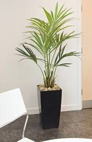 5ft artificial kentia palm tree in black kubis pot office