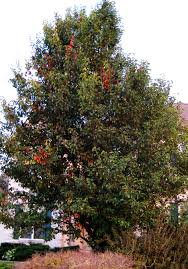 purdue expert trees can get burned again by blight purdue