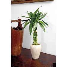 shop lucky bamboo l20953hp at lowes com