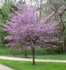 outdoor ornamental tree with puple leaves ornamental trees for