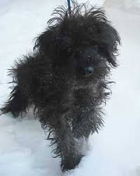 affenpinscher for adoption puppy that narrowly missed being mailed from minnesota to georgia