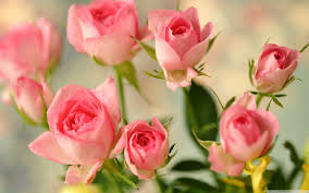 Cute Wall Papers by Cute Pink Roses Hd Desktop Wallpaper Widescreen High
