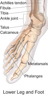 Ankle Anatomy Ligaments Foot Ankle
