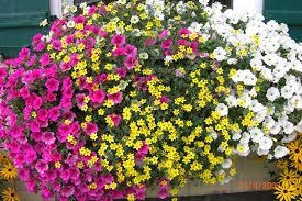 balkon blumen balkonblumen hängepetunien balkon blumen hänge petunien flickr