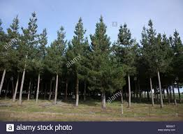 monterey pine new zealand stock photos u0026 monterey pine new zealand