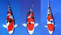 ornamental fish farming type category fish koi
