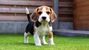 Do All Short Haired Dogs Shed by Awesome Short Haired Dog Breeds Dog Breeds Puppies Short Haired
