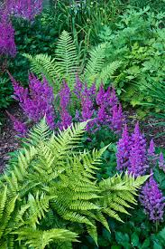 astilbe and ferns photograph by douglas barnett landscape ideas