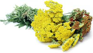 Flowers Information - yarrow flowers information recipes and facts