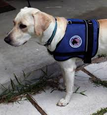 pictures of service dogs in service dog vests service dog photos
