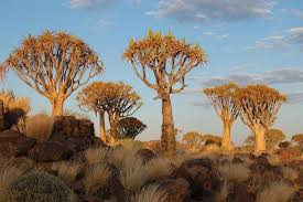 quiver tree forest namibia amusing planet
