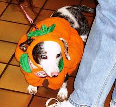 Dachshund Halloween Costumes Photos Show Pets Halloween Costumes Kfor