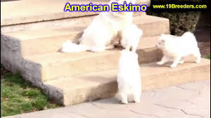 american eskimo dog breeders american eskimo puppies dogs for sale in montgomery alabama