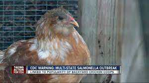 cdc salmonella infections linked to u0027backyard flocks u0027 of chickens
