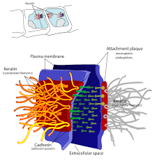 What Organelles Are Found In Epithelial Cells Desmosome Wikipedia