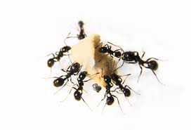 fourmis cuisine fourmis à la cuisine fourmis noires sur un fond blanc photo stock