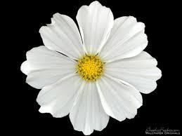 white flower simple white flower swittersb exploring