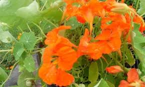 les fleurs comestibles en cuisine les fleurs comestibles au menu 1ere partie nathalie en herbe