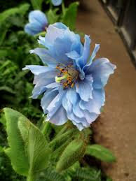 double meconopsis himalayan blue poppy at longwood gardens photo