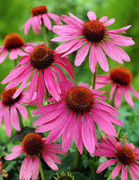 echinacea flower purple cone flower magnus echinacea purpurea magnus purple