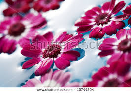 floating flowers floating flowers in water stock images royalty free images