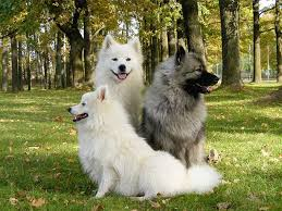 australian shepherd eskimo spitz mix keeshond dog breed information pictures characteristics u0026 facts