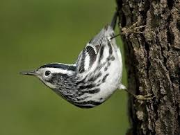 brown creeper identification all about birds cornell lab of