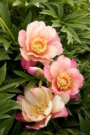 Peony Flower Julia Rose Itoh Peony Monrovia Julia Rose Itoh Peony