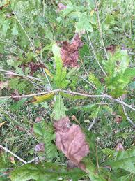 White Oak Tree Bark White Oak Bark And Leave Issues Ask An Expert