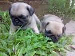 ขายลูกสุนัขพันธุ์ปั๊ก เชียงใหม่ » BE2HAND.COM