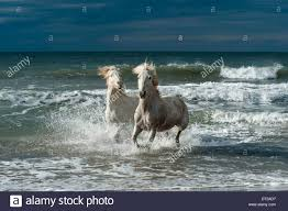 white mustang horse two white horses running from the ocean towards land stock photo