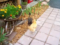 Benefits Of Backyard Chickens by Herbs Flowers And Weeds For Chickens Backyard Chickens