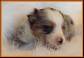 australian shepherd 4 weeks old ghost eye mini aussie avail xmas 2014 litter 7 pup6 jessie blue