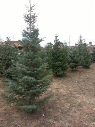 collection fresh cut christmas trees delivered pictures old