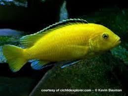 freshwater fish pet creations fish