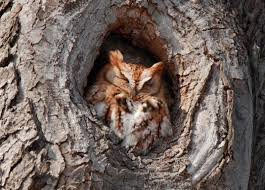 a screech owl in a tree knot smithsonian photo contest