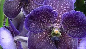 vanda orchids how to care for vanda orchids garden guides