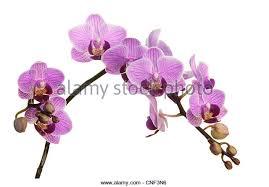 purple orchids purple orchids stock photos purple orchids stock images alamy