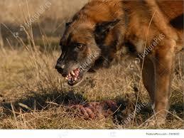 belgian shepherd nature picture of aggressive belgian shepherd
