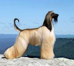 afghan hound breeders europe dog afghan hound articles 2puppies com
