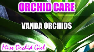 vanda orchid orchid care how to care for vanda orchids watering
