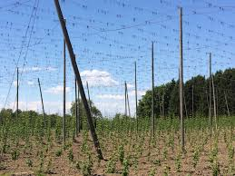 tall hop trellis in the tettnang region of germany these baby