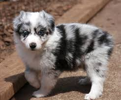 3 4 australian shepherd 1 4 blue heeler gallery for u003e australian shepherd wallpapers