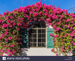 bougainvillea flowers form an arch over a window of an old adobe