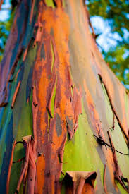 Rainbow Eucalyptus 50 Best Rainbow Eucalyptus Images On Pinterest Rainbow