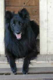 belgian sheepdog laekenois belgian sheepdog friends pinterest