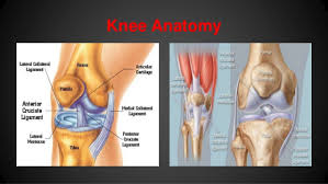 Knees Anatomy How To Bulletproof Your Knees