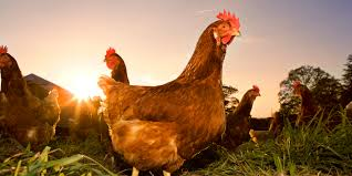 chicken more popular than beef in u s for first time in 100 years