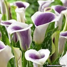 calla lilly picasso calla zantedeschia american